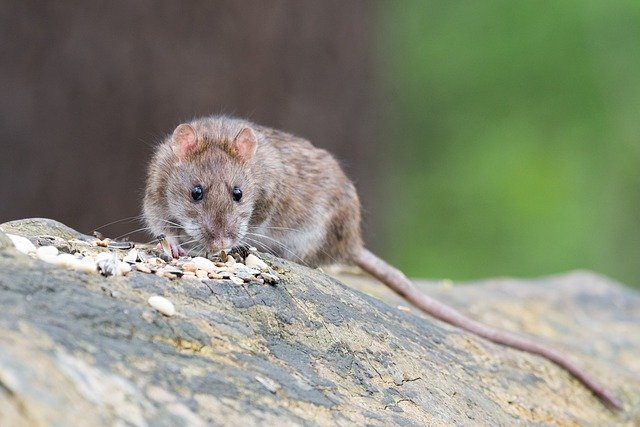Rat eating food.