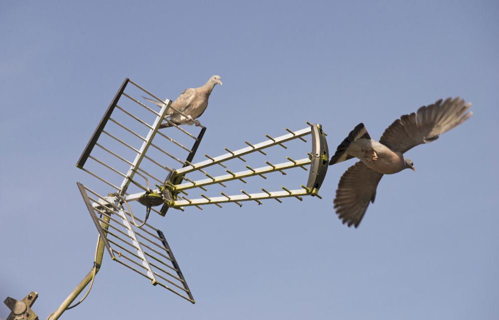 Pair of Woodpigeons on a tv aerial as one flys away.
