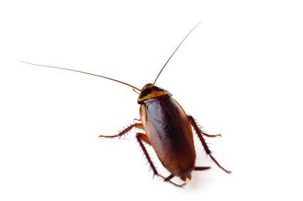 American cockroach.
