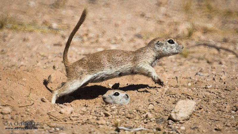 ground squirrel leaping