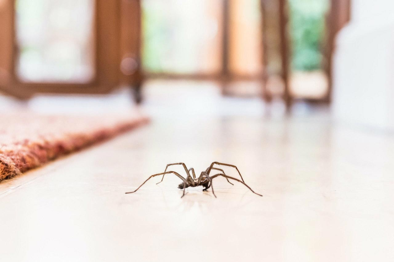 Spider on the floor of a home.