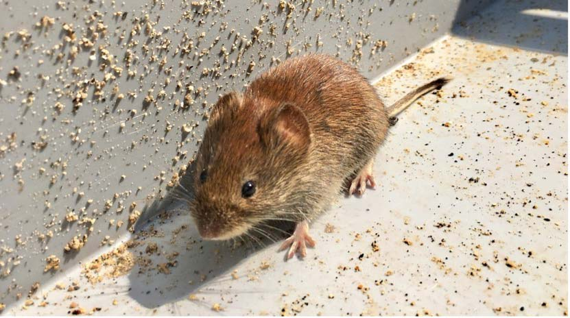 a house mouse outdoors