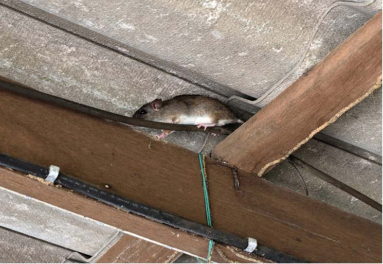 a roof rat crawling near the ceiling