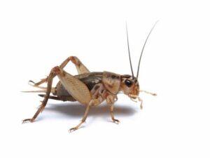 cricket on white background
