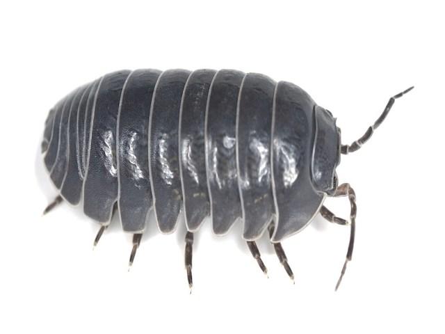 pillbug or sowbug on white background