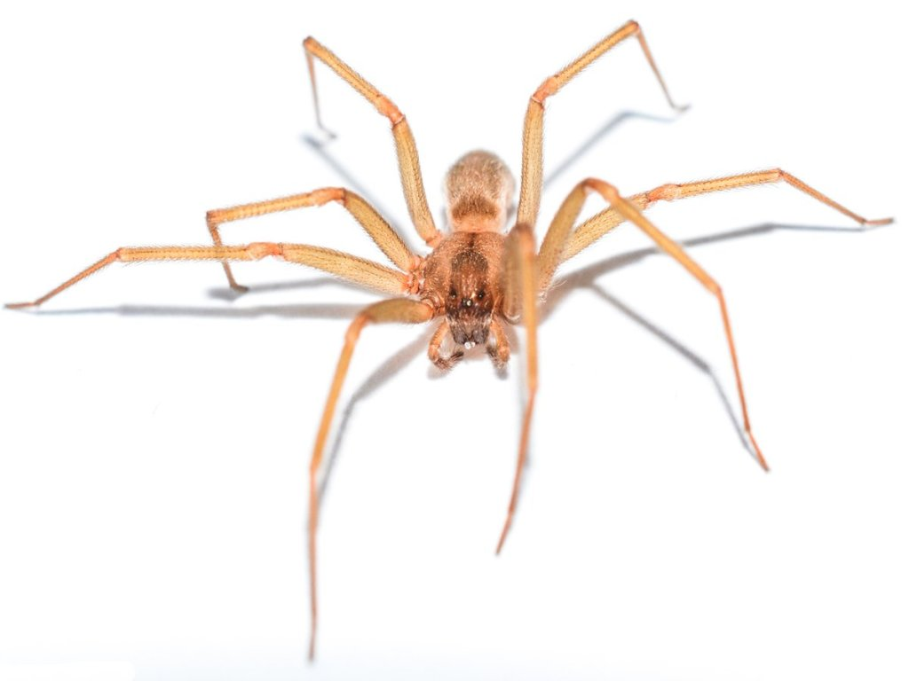 Light brown recluse spider.