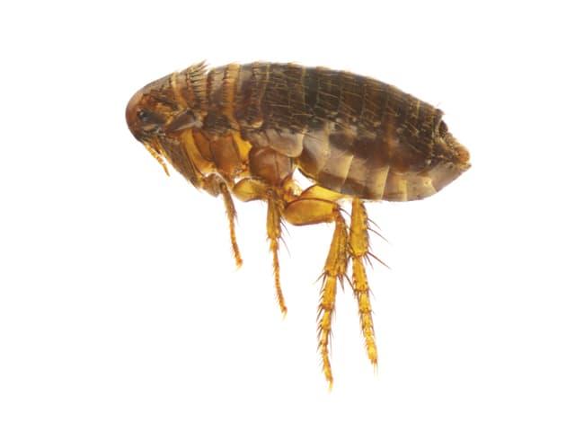 Fleas.