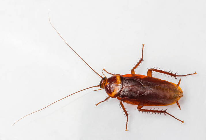 American cockroach with long antennas.