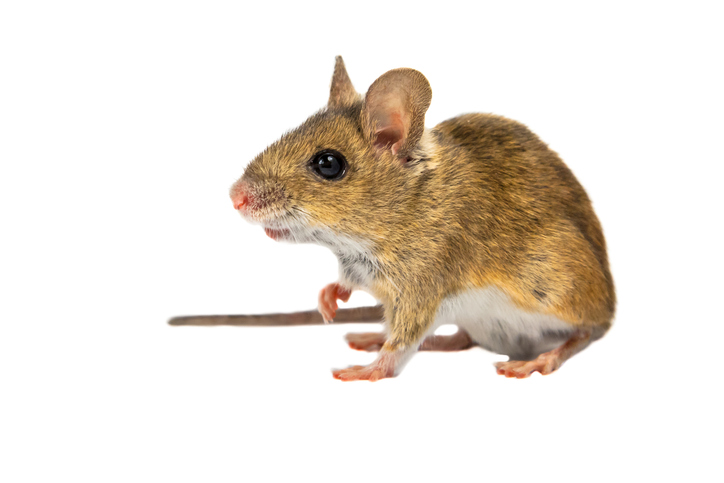 Wood mouse (Apodemus sylvaticus) with cute brown eyes looking in the camera on white background