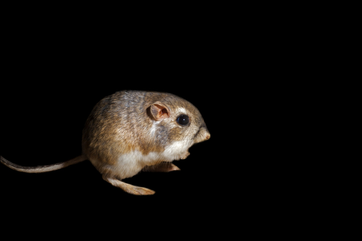 Merriam's kangaroo rat (Dipodomys merriami) native to the Sonoran desert, Baja California and northern Mexico against black background