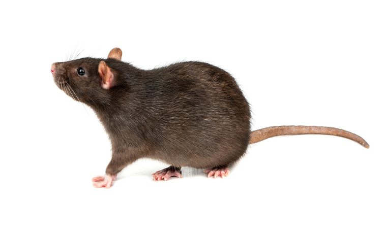 Thick grey Norway rat isolated on white background