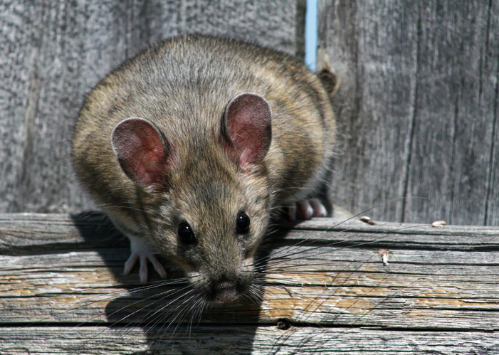 packrat, otherwise known as the woodrat