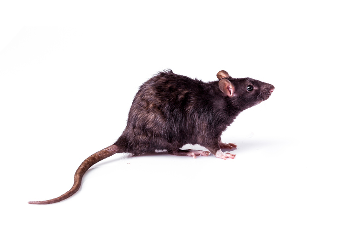 Dark brown roof rat isolated on white background