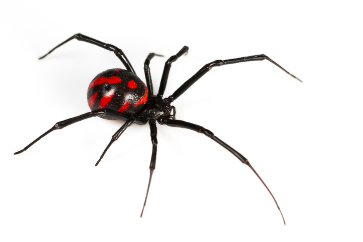 Female widow spiders are typically dark brown or a shiny black in color when they are full grown, usually exhibiting a red or orange hourglass on the ventral surface (underside) of the abdomen.