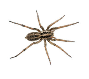 A very large Wolf spider, overhead view, symmetrical pose