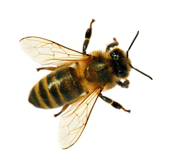 Honeybee isolated on white background