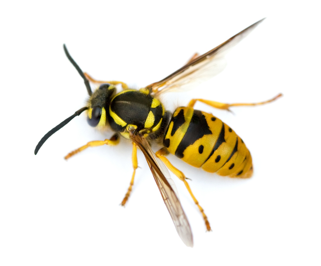 macro shot of Queen Eastern Yellowjacket Wasp (Vespula maculifrons) isolated on white.