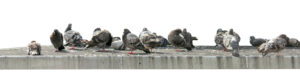 Pigeons group on a concrete roof isolated on a white background. Urban bird pest concept.